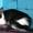 Игривые котята в дар,  1, 5 мес. #1290335