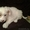 красивые щенки китайской хохлатой #1344136