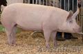 Домашняя свинина по отличной цене
